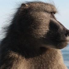 baboon-jpg