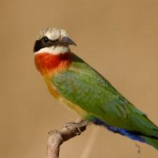 bee-eater-jpg
