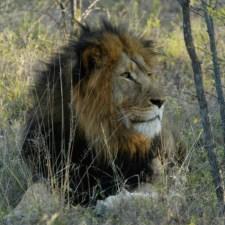 best-lion-jpg
