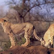 cheetah-jpg
