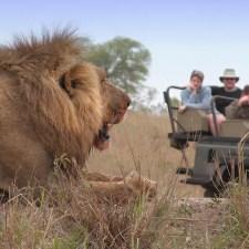 lion-looking-at-safari-vehcile-jpg